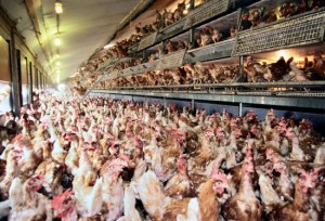 Nobody does chicken like KFC, right? These chickens live in cramped conditions, many of which die from distress alone.
